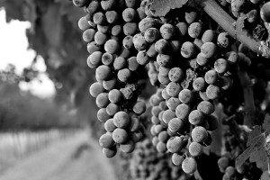Wine grapes on the vine in a field are almost ripe